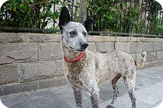 Shepherd (Unknown Type) Mix Dog for adoption in Sunnyvale, California - Jordan
