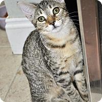 Adopt A Pet :: Hamlet (Bengal mixed kitten) - New Smyrna Beach, FL