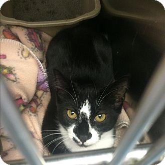 Domestic Shorthair Kitten for adoption in Richboro, Pennsylvania - Ursula