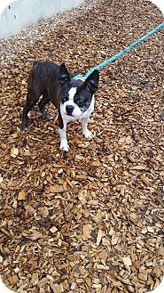 Boston Terrier Dog for adoption in Seattle, Washington - Katrina
