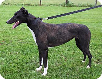 Greyhound Dog for adoption in Carol Stream, Illinois - NB's Ms McKayla