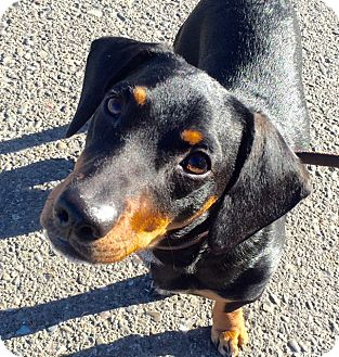 Dachshund Mix Dog for adoption in Vacaville, California - Frankie