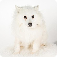 Eskimo Dog Dog for adoption in St. Louis Park, Minnesota - Sorel