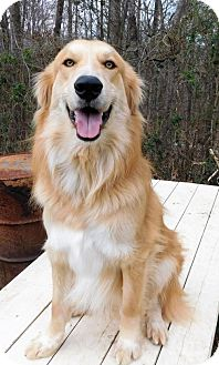 Golden Retriever/Collie Mix Dog for adoption in Spartanburg, South Carolina - Tanner (HW+)