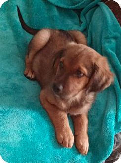 Shepherd (Unknown Type) Mix Puppy for adoption in Pompton Lakes, New Jersey - Katie's Puppy 2