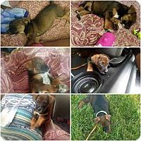 Adopt A Pet :: Devin - MCLEAN, VA