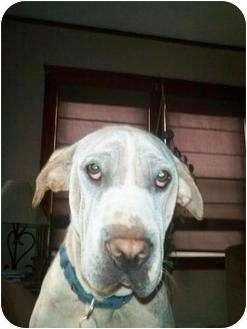 Shar Pei/Labrador Retriever Mix Dog for adoption in Newport, Vermont - Sailor