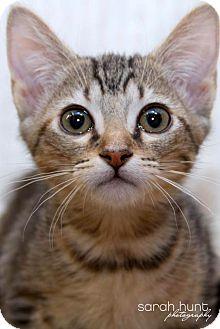 American Shorthair Kitten for adoption in Irvine, California - Barbie