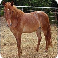 Pony - of America Mix for adoption in Bryan, Texas - Sissy