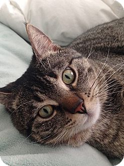 Domestic Shorthair Cat for adoption in Murrieta, California - Monkey
