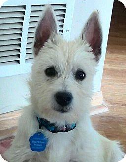 Westie, West Highland White Terrier Puppy for adoption in Omaha, Nebraska - Louise-Pending Adoption