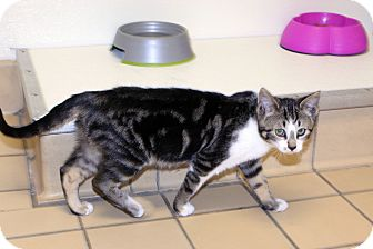 Bengal Kitten for adoption in Lumberton, North Carolina - Bunny