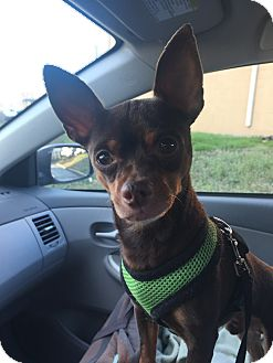 Chihuahua/Miniature Pinscher Mix Dog for adoption in Essington, Pennsylvania - Tio
