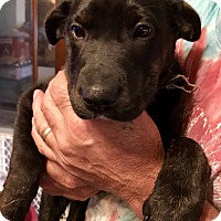 Adopt A Pet :: Clover - ST LOUIS, MO
