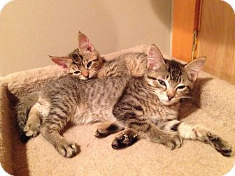 Domestic Shorthair Cat for adoption in Mount Laurel, New Jersey - Trevally