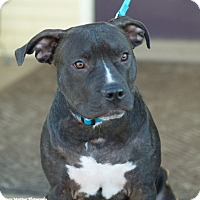 Adopt A Pet :: Blue - Homewood, AL