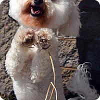 Adopt A Pet :: Beau-Adoption pending - Bridgeton, MO
