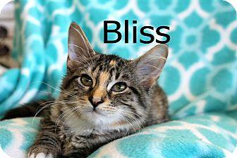 Calico Kitten for adoption in Wichita Falls, Texas - Bliss