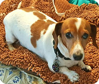 Dachshund Dog for adoption in Andalusia, Pennsylvania - Phoenix