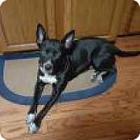 Adopt A Pet :: Licorice - Crown Point, IN