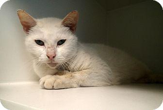 Domestic Shorthair Cat for adoption in Newport, North Carolina - Jon Snow