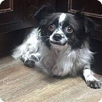 Adopt A Pet :: Esme - Snyder, TX