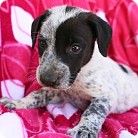 Adopt A Pet :: Siggy - Allentown, PA