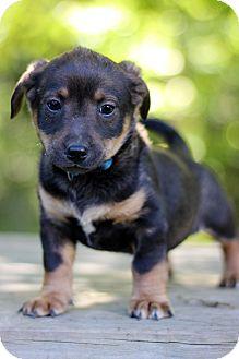Dachshund Mix Puppy for adoption in Waldorf, Maryland - Donald