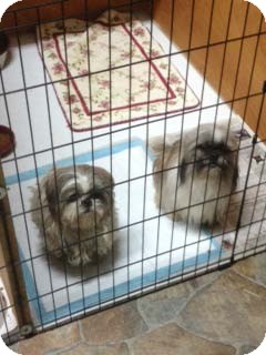 Shih Tzu Dog for adoption in Hazard, Kentucky - Marley
