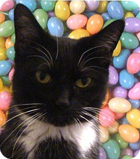 Domestic Shorthair Cat for adoption in Albany, New York - Alexis