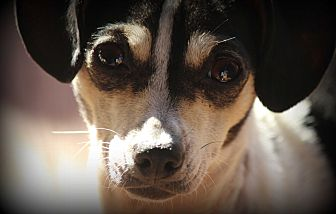 Chihuahua/Rat Terrier Mix Dog for adoption in Greenville, South Carolina - Lady Bird (Birdie)