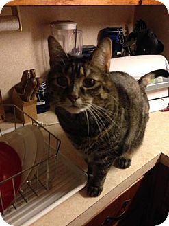 Domestic Shorthair Cat for adoption in Harrisonburg, Virginia - Savannah