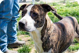 Akita/Australian Terrier Mix Dog for adoption in Jasper, Alabama - JoJo