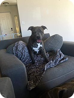 Boxer/Pit Bull Terrier Mix Dog for adoption in Reno, Nevada - Opie