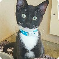 Domestic Shorthair Cat for adoption in Fredericksburg, Texas - Matteo