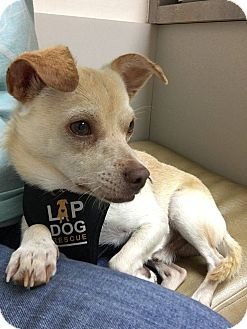 Chihuahua Mix Dog for adoption in Tijeras, New Mexico - Primo