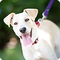Labrador Retriever Mix Dog for adoption in Houston, Texas - Rally