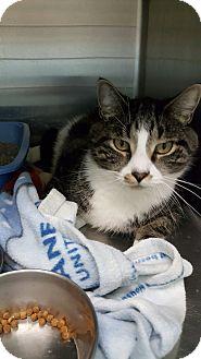Domestic Shorthair Cat for adoption in Cody, Wyoming - Tobias