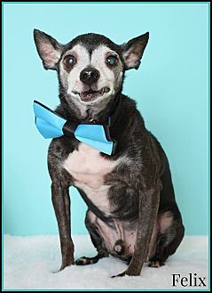 Chihuahua Mix Dog for adoption in Phoenix, Arizona - Felix