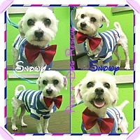 Adopt A Pet :: Snowy - South Gate, CA
