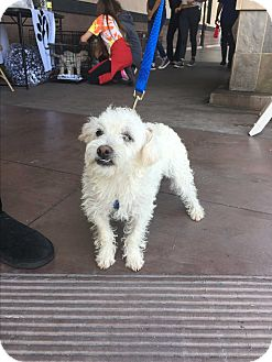 Poodle (Toy or Tea Cup)/Chihuahua Mix Puppy for adoption in Carlsbad, California - Sage