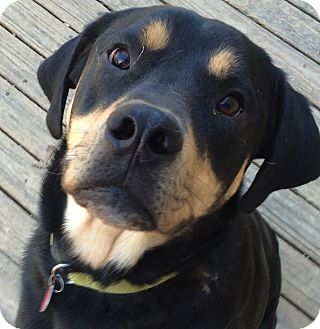 Rottweiler/Hound (Unknown Type) Mix Dog for adoption in Olive Branch, Mississippi - Luther