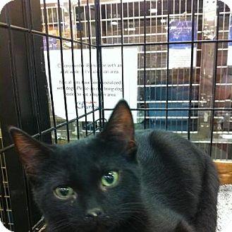 Domestic Shorthair Kitten for adoption in Pittstown, New Jersey - Batman