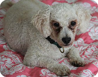 Poodle (Miniature) Mix Dog for adoption in Yuba City, California - Jake