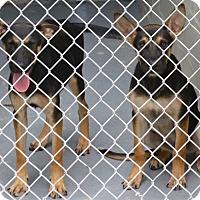 Adopt A Pet :: Raven - Inverness, FL