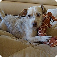 Terrier (Unknown Type, Small)/Dachshund Mix Dog for adoption in Beverly Hills, California - Fern playful lapdog