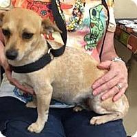 Adopt A Pet :: CINDY - Sugar Land, TX