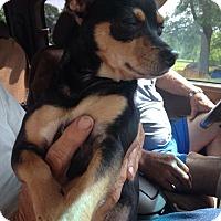 Adopt A Pet :: Roxy - Pompton Lakes, NJ