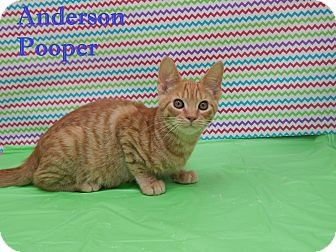 Domestic Shorthair Cat for adoption in Bucyrus, Ohio - Anderson Pooper