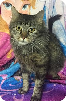 Domestic Mediumhair Cat for adoption in Des Moines, Iowa - Mabel